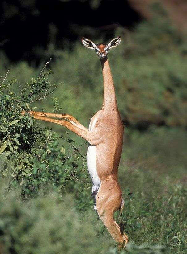 """The Gerenuk. I have a hard time comprehending this animal LOL!!! It's like the opposite of a dinosaur... """"I have a little head and big arms!!!"""""""