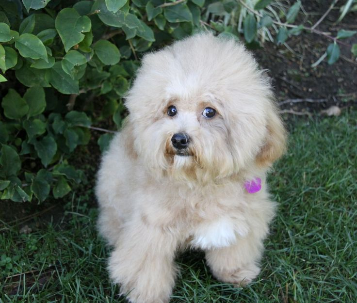 You may meet and apply to adopt Aladdin at our ADOPTION EVENT on SATURDAY, JANUARY 11th from 12 Noon - 3:00 at PETCO in IRVINE. adoptpetmatch@gmail.comAladdin is a male Bichon Frise/Apricot Poodle mix only 1 1/2 years of age.  He is a classy little...