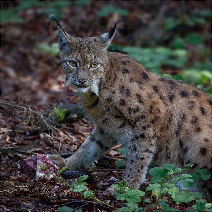 Eurasischer Luchs oder Nordluchs  [Lynx lynx]  Aufgenommen im Nationalparkzentrum Lusen. Bayerischer Wald.    weitere Tierfotos:  [fc-fotohome:752511]