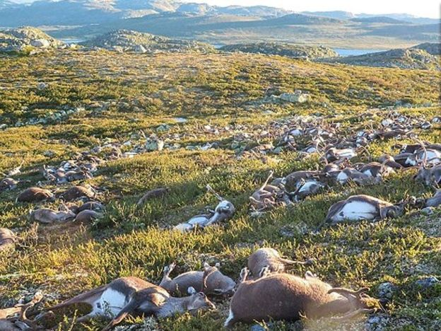 300 rusa mati serentak dipanah petir   Bangkai rusa bergelimpangan di Hardangervidda Norway selepas dipanah petir  OSLO - NORWAY. Lebih 300 ekor rusa ditemui mati bergelimpangan di kawasan pergunungan Hardangervidda Jumaat lepas. Menurut laporan Dailymail kejadian dipercayai berlaku ketika ribut petir melanda kawasan tersebut. Lima ekor rusa pula ditemui masih hidup tetapi cedera parah dan terpaksa dikorbankan. Jurucakap agensi hidupan liar dan alam persekitaran Norway Kjartan Knutsen…