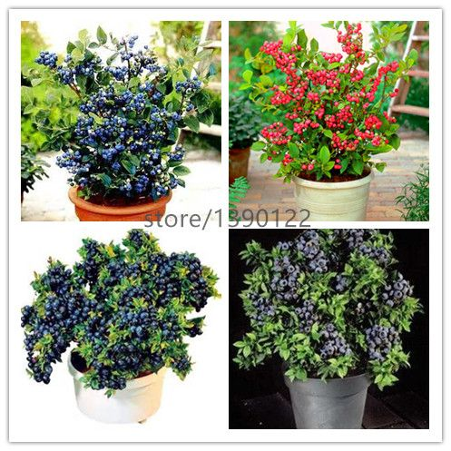 500pcs blueberry seeds 2 colours blue red bonsai blueberry tree  fruit & vegetable seeds Non-GMO potted plant for home & garden
