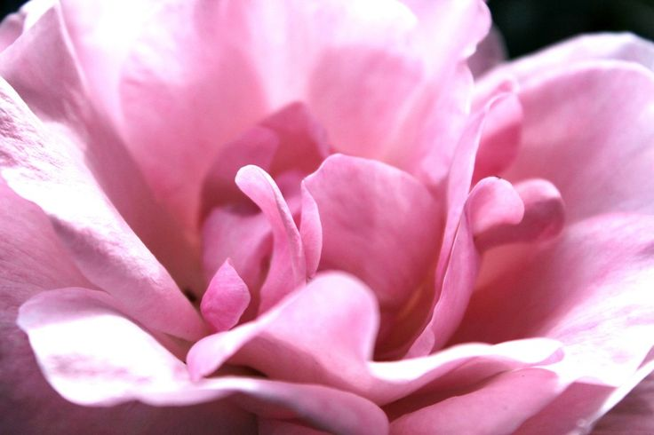 Petals Perfection