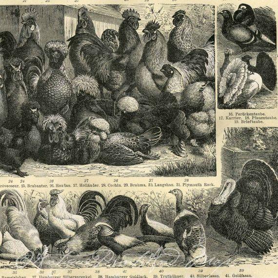 Antique Poultry Print Chickens Ducks by AntiquePrintsAndMaps, $17.00