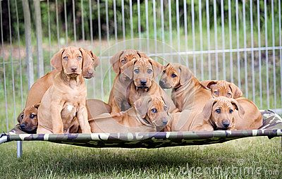 Adorable litter of Rhodesian Ridgeback puppie sitting together on a hammock in the backyard. Funny expressions in their faces. The little dogs are eight weeks of age.