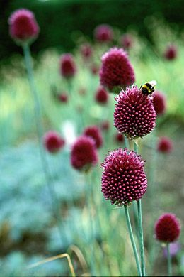 Allium Sphaerocephalon. this is the late summer variety of Allium which looks good planted with grasses