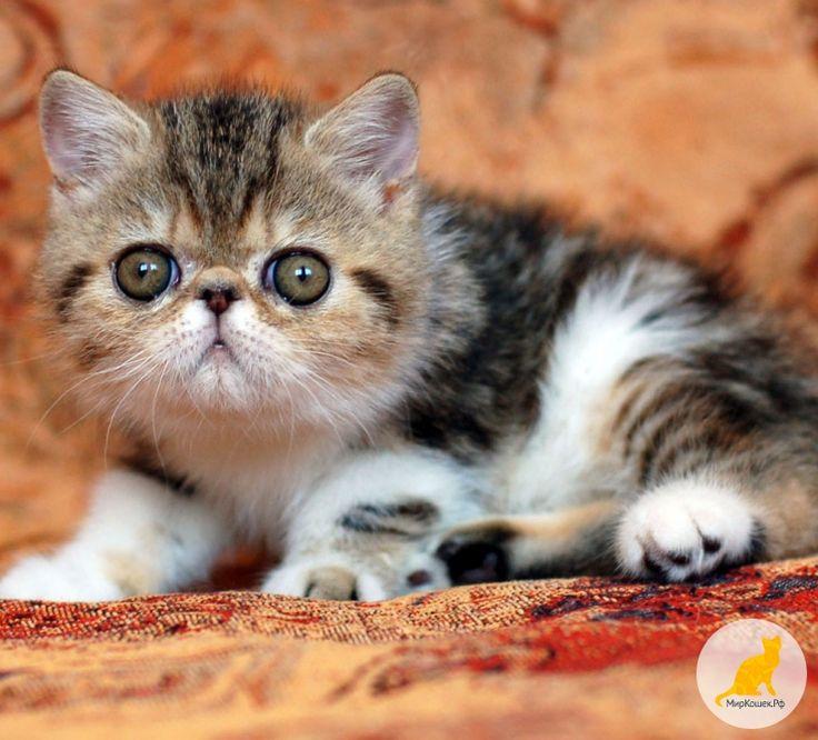 странице котята экзотические картинки командиром
