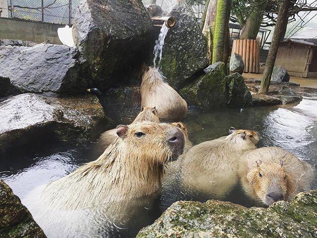 hcpsafari 明日からカピバラ温泉はじまります! つかったり、打たせ湯にあたったり カピバラさん達、極楽気分♪ #姫路セントラルパーク #カピバラ #カピバラ温泉 #himejicentralpark #capybara #capybarahotsprings 姫路セントラルパーク 2017/11/24 17:05:06