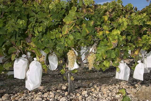 viña del campo del Vinalopó    Al comienzo de la maduración de la uva embolsada del Vinalopó, en julio, se seleccionan los mejores racimos de uva y se cubre cada uno de ellos con una bolsa de papel especial que se cierra por el pedúnculo, quedando abierta por su parte inferior. Entre junio y julio se colocan alrededor de 250 millones de bolsas para una producción media de 180.000 a 190.000 toneladas