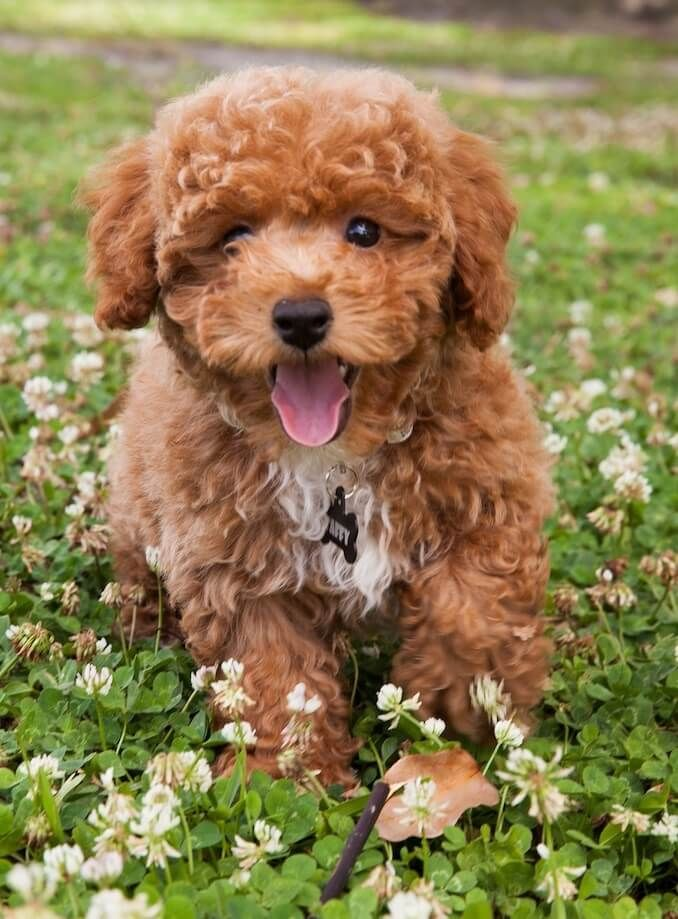 Bichon Poodle Why You Should Own This Curly Haired Teddy All Things Dogs In 2020 Bichon Poodle Mix Poodle Mix Breeds Poodle Puppy