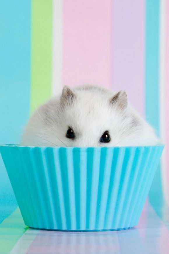 beautiful hamster hiding in a cupcake mold