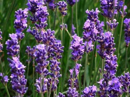 Lavendel - ScV