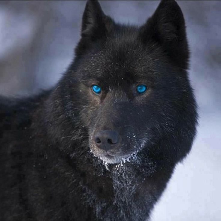 Blue eyed black wolf | Wolves | Pinterest | Wolves, Black ...