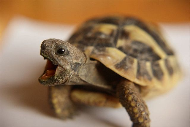 Hermann Tortoise. Ah! Can't wait to get mine:)