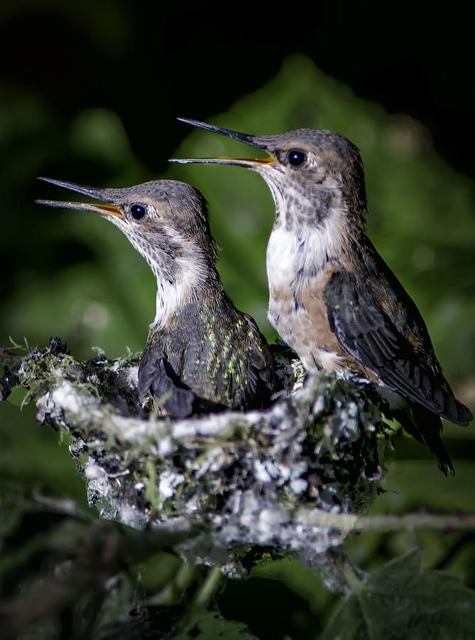 Baby Hummingbirds Print by Frank Pali