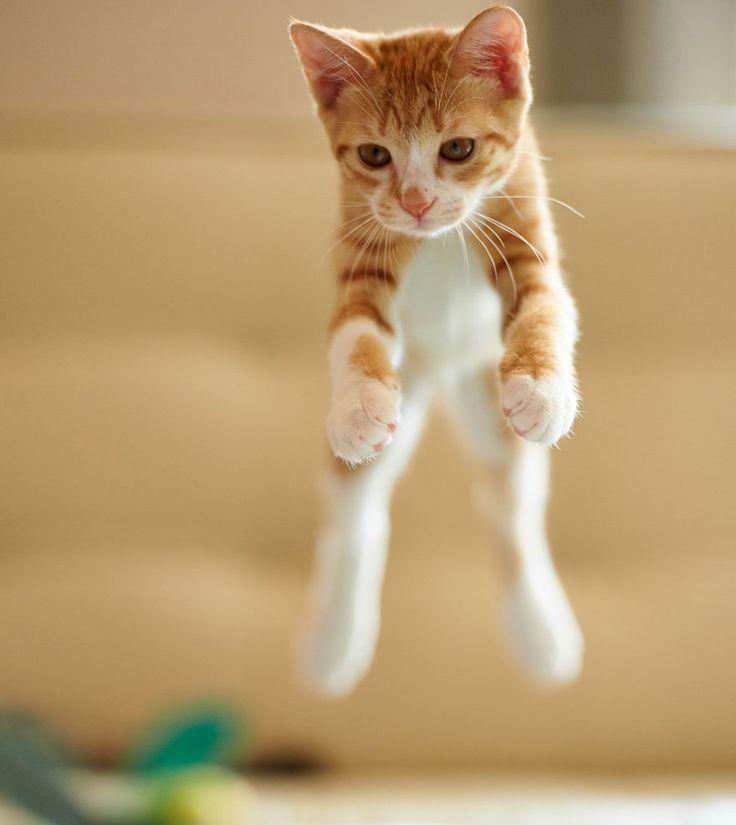 52 magnifiques photos de chats qui sautent   53 superbes photos de chats qui sautent jumping cats 34