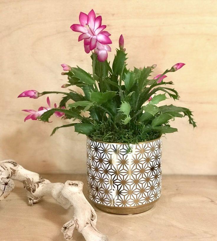 Cactus navideño consejos para la siembra y cuidados
