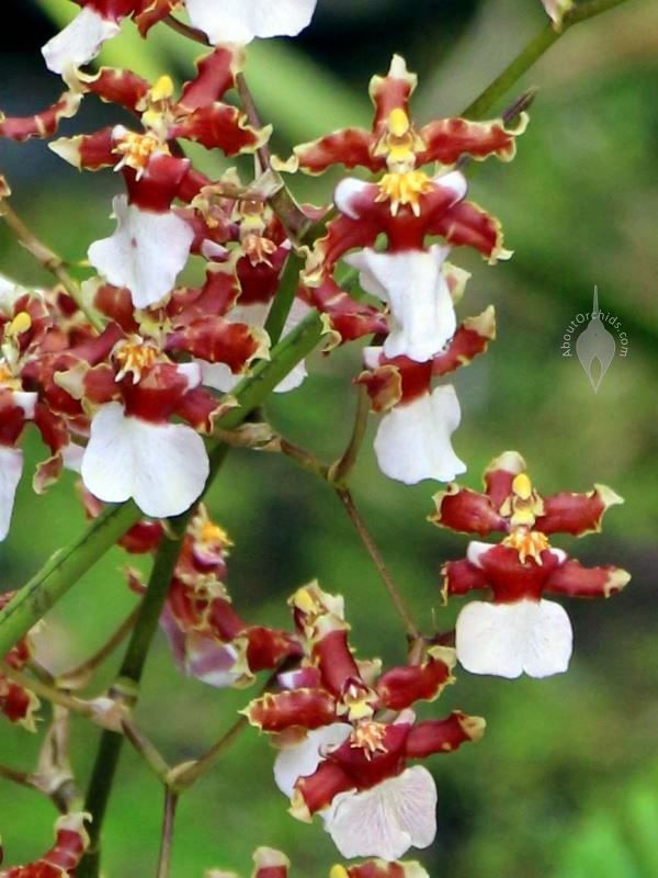 Oncidium Orchid Hawaiian Images