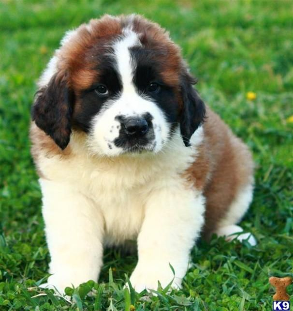Google Image Result for http://www.dogpup.net/wp-content/uploads/2011/09/St-Bernard-Puppies.jpg