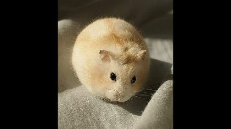 The Siberian Hamster testicles swell during the fall  They can swell up to 17 times their normal size  #animals #images #fall #hamster #rodent #siberian hamster #size #swell up #testicles #times