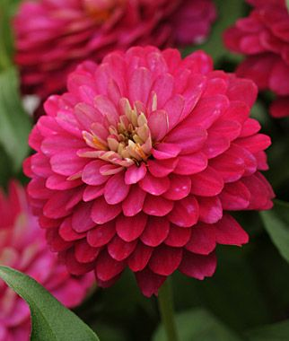 Zinnia 'Zahara Double Strawberry' - One of the easiest flowers to grow. Blooms all summer long for a huge pop of colour in your garden. Height 16""