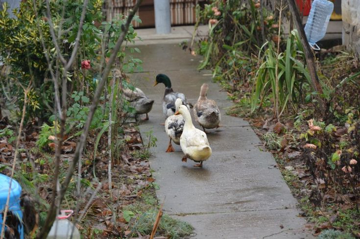 Village Ljutice in Serbia - ducks all around making yard so beautiful with their presence