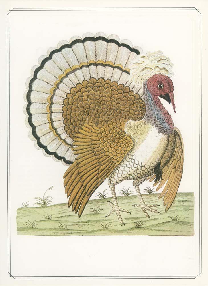 Common Turkey, 23, Vintage Bird Print 1979, Eleazer Albin 1738, Natural History of Birds, Ornithology Print, Woodland Library Decor by MarcadeVintagePrints on Etsy