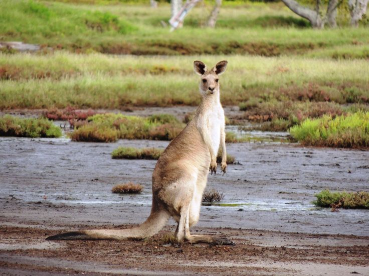 The Eastern Grey Kangaroo can often be found in saltmarsh where it feeds on marine couch.