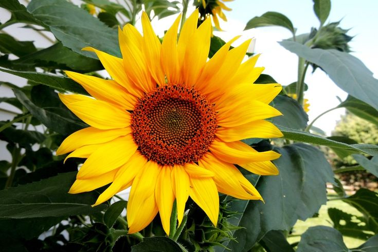 Plant sunflowers and other native plants to attract ...