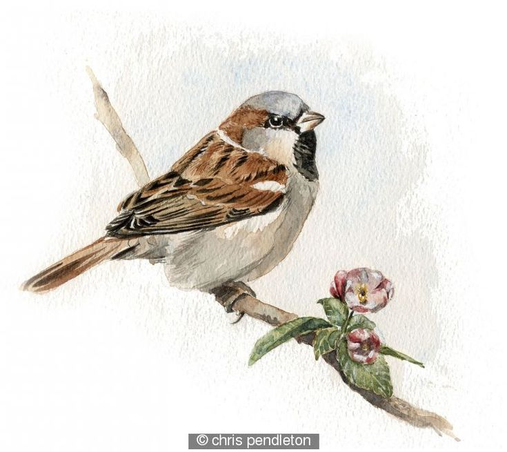 House Sparrow With Blossom