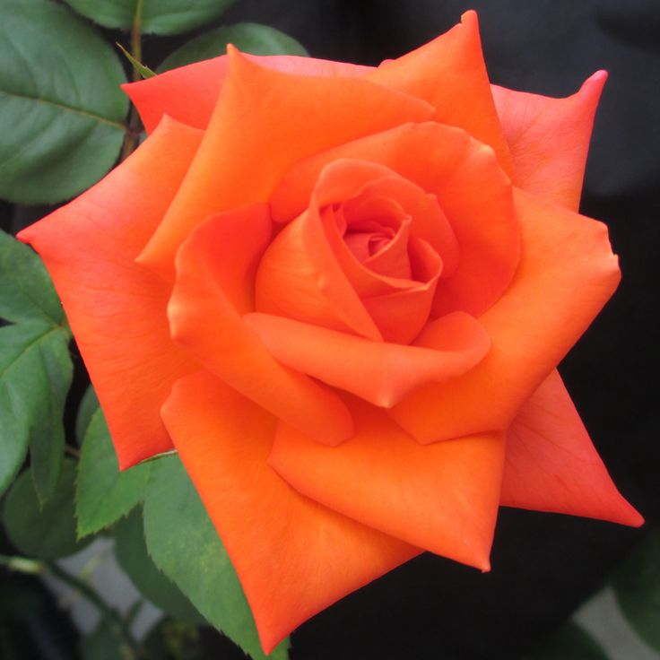 Wildfire™ Hybrid Tea Rose