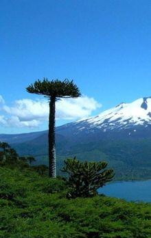 araucaria, Chile