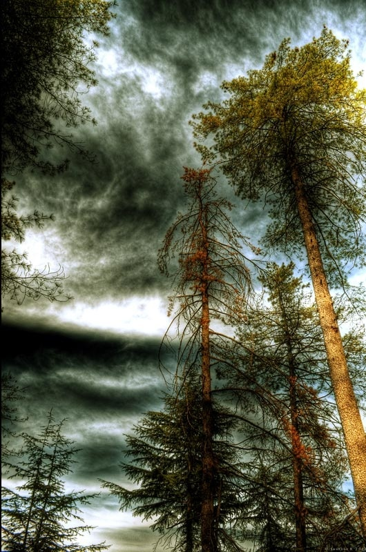 tall trees hdr photography by vamp1967