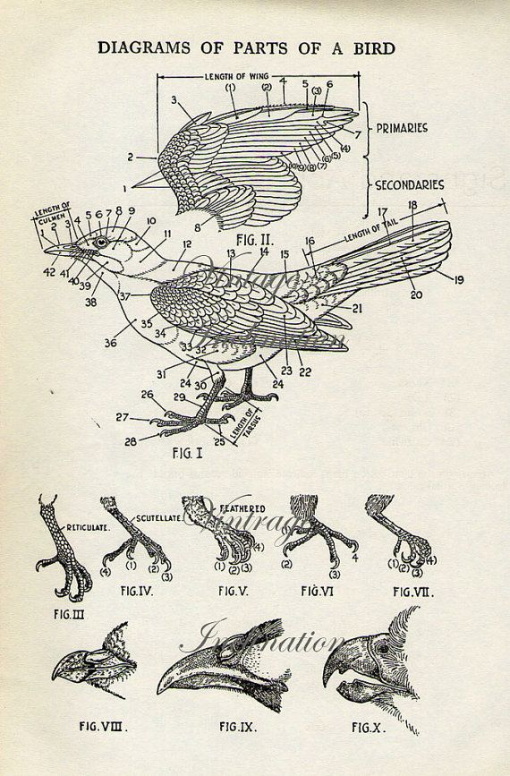 Vintage Bird Print Natural History Antique Illustration Bird feathers feather wings gull beak claws anatomy on Etsy, $9.00