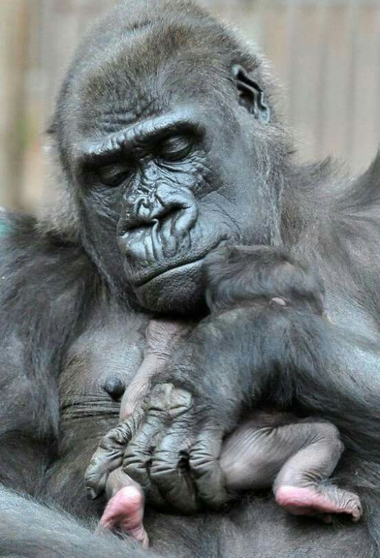 Gorillas ~ Look at those tiny little feet... how cute.