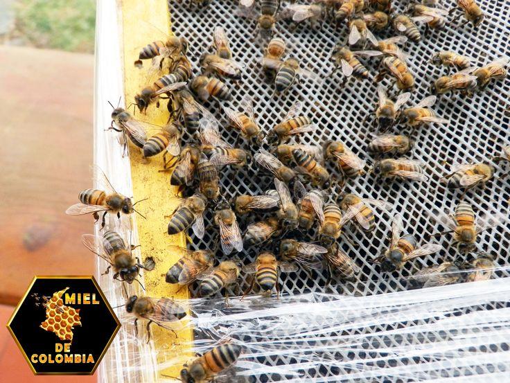 Las abejas que encuentran néctar o polen comunican a sus compañeras la ubicación de las flores por medio de danzas para dirigirlas a dicho lugar. Y aunque todas las subespecies de abejas melíferas utilizan este mecanismo de reclutamiento hacia las flores, las abejas africanizadas tienden a depender menos de él en comparación con las europeas. Esta estrategia de pecoreo es explicable por el hecho de que en los trópicos la floración es más variada y discontinua que en las zonas templadas.
