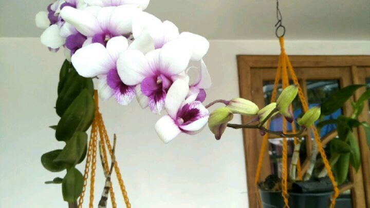Biggest Spike Among My Orchids Orchids Orchid Dendrobium Plant Garden Flowers Vegetables Gardener Ornam Orchids Flowers Plants