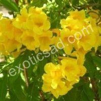 "Кампсис желтый (Campsis radicans)  ""Флава"""