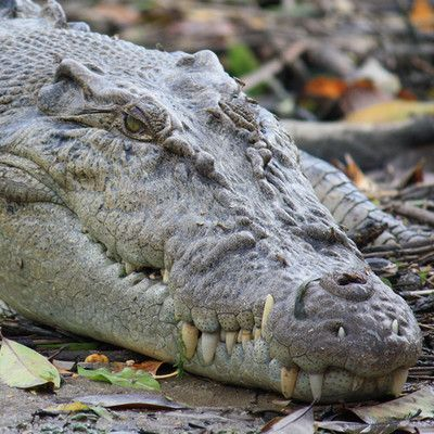 What animal is that? #Crocodile! When the crocodile's mouth is closed, the large fourth tooth in the lower jaw fits into a constriction in the upper jaw. For hard-to-distinguish specimens, the protruding tooth is the most reliable feature to define a species