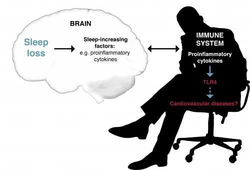New biological links between sleep deprivation and the immune system discovered... We all know this! I wish doctors spent more time in helping us SLEEP better--whether it is through better mattresses, herbs & natural stuff, testing for sleep apnea, etc. If we just got some decent sleep a percentage of our symptoms would automatically be a bit better, right?