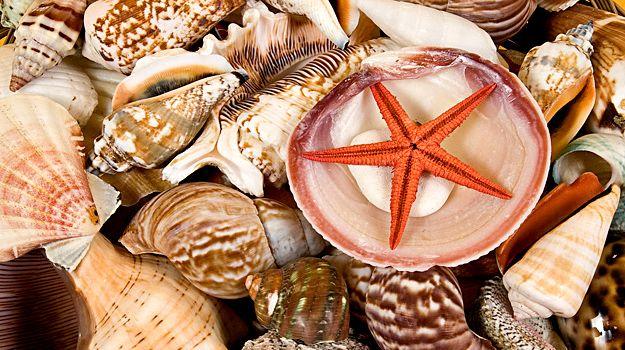 Buy Decorative Sea Shells Online from GandGwebstore.com