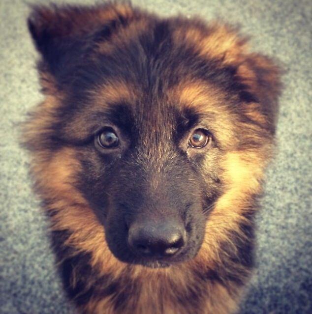 Puppylove valp puppy schäfer gsd german shepherd hund ansikte face