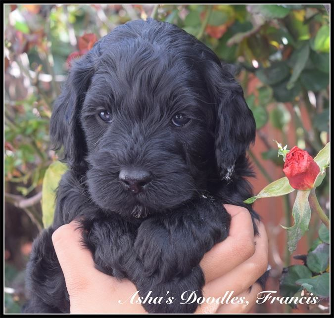 Asha S Doodles Available Upcoming Puppies Fremont Ca
