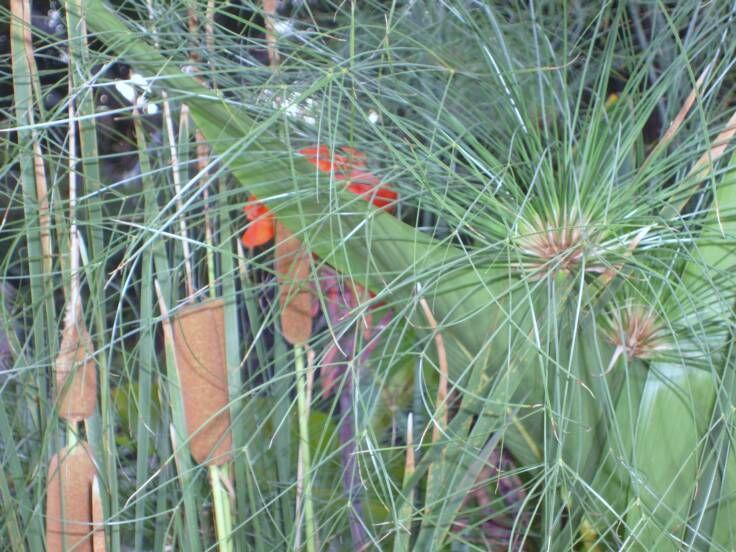 bog plants water garden Pinterest
