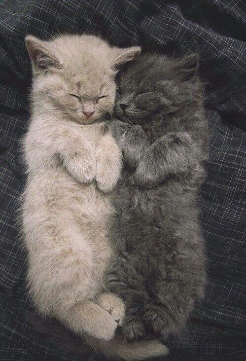 Deux chats TROP mignon blanc et gris qui se donne un gros câlin!