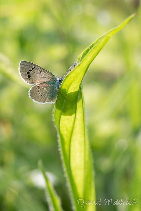 Azuré des cytises - Lycène bleu