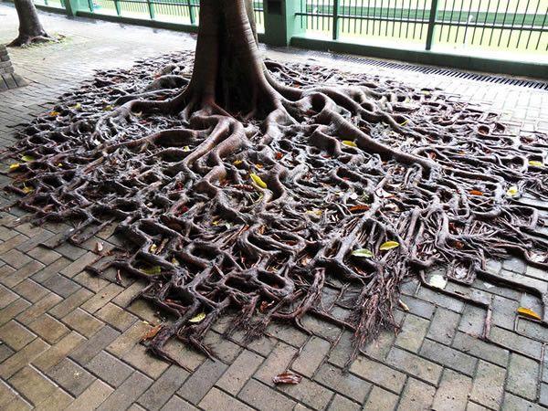 Boomwortels groeien door het voetpad