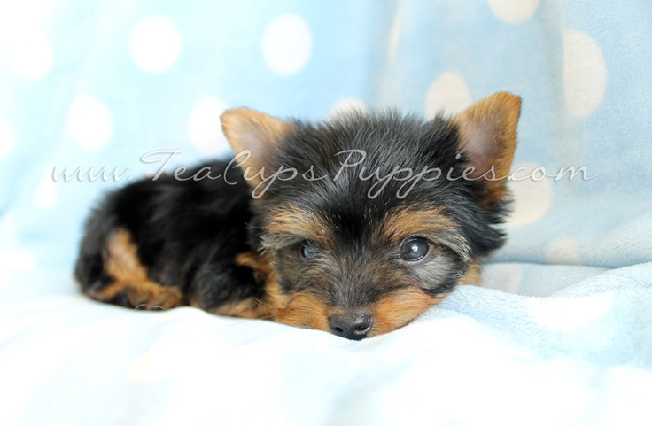 Adorable Toy Yorkie Puppy by TeaCupsPuppies.com!   – Precious Pets
