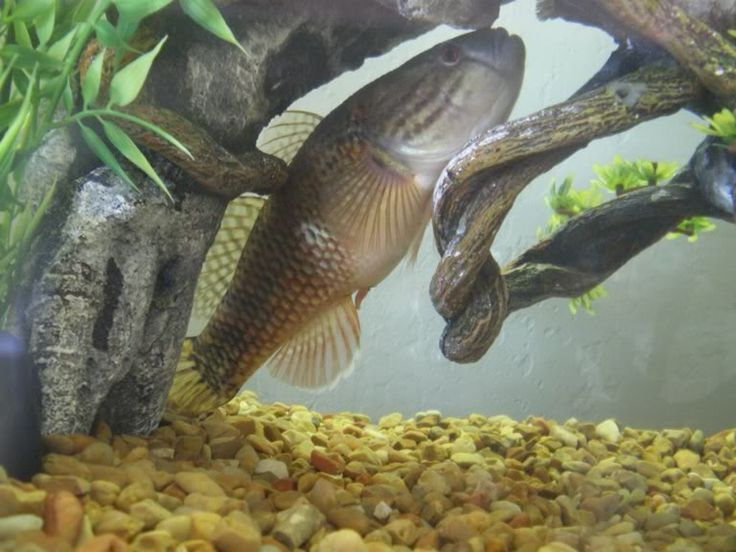 Marbled Sleeper Goby Freshwater gobies and gudgeons marbled sleeper ...