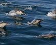 Delfines nadan al lado de nuestro buque ballenero en la bahía de Monterrey. Tomada el 15 de febrero de 2013. (Foto y texto cortesía de Kate Cummings/National Geographic Your Shot)