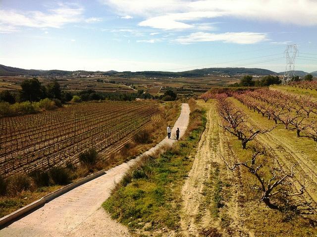 Passejant entre vinyes i presseguers #Subirats #CapitaldelaVinya